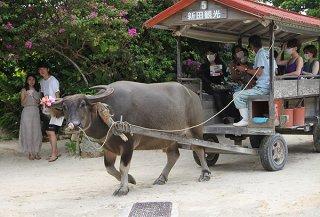 竹富島の観光業再開が本格化している。水牛車観光は観光客の注目を集め、道行く人が記念写真を撮る姿もみられた=2日午前、竹富島