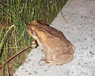 約3年ぶりに西表島内で目撃されたオオヒキガエル。その後、捕獲された=6月9日、上原港駐車場(目撃者提供)