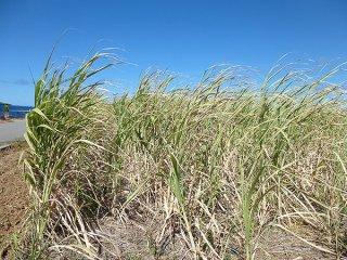雨が降らずロール現象や枯れ上がりが出始めているサトウキビ=20日、波照間島(波照間製糖提供)