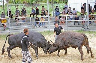 久々の闘牛を観戦する観客ら=26日午後、八重山闘牛場