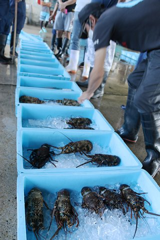 水揚げ量が年々減少しているイセエビ=13日午前、八重山漁協