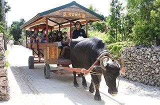 水牛車で島内を回る観光客ら=21日、竹富島