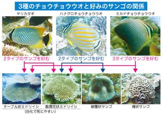 白化耐性が弱いタイプのサンゴのポリプを好んで食べる3種類のチョウチョウウオ(水産技術研究所八重山庁舎提供)