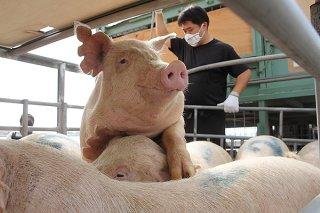 熊本県から母豚20頭が導入され、2社に10頭ずつ割り当てられた=19日午後、石垣港