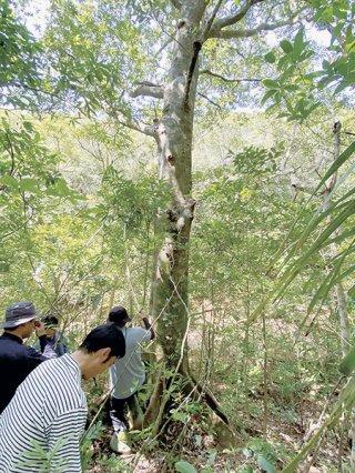 首里城正殿の構造材に石垣産のオキナワウラジロガシが活用される。写真の木は対象木とは別の木(石垣市農政経済課提供)