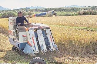 長粒種米を収穫する徳村さん。ジャポニカ米の倍の収量があるという=11月25日、名蔵の水田(石垣市提供)