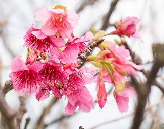 寒さが緩み開花が始まったカンヒザクラ=市内宮良橋バス停付近