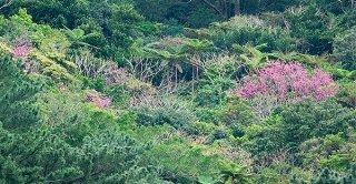 以前は山の中腹をピンク色に染めていたカンヒザクラも現在ではまばらになっている=10日午前、荒川のカンヒザクラ自生地付近の県道から撮影