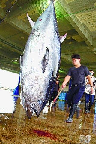 今期初水揚げとなった本マグロ。これから本格的なシーズンを迎える=4日午前、八重山漁協