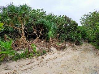 環境省への手続きなく伐採されたアダン(左)など=4日、石垣市米原キャンプ場