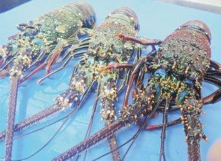 捕獲が禁止されているシマイセエビ(県水産課提供)