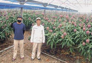 30年間手塩にかけて育てたマンゴーの最後の収穫に備える島本哲男さん(右)と息子の敏さん=5月31日午前、島本農園のハウス内