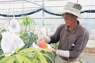 マンゴーの収穫を行う西原章恵会長=19日午後、石垣市名蔵
