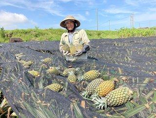 最盛期を迎えつつあるサンドルチェの収穫に汗を流す平良邦夫さん=18日午前、名蔵地区のほ場