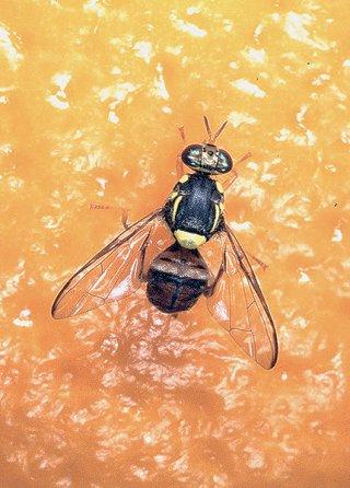 特殊病害虫のミカンコミバエ。石垣島で5月以降、7匹が確認されている(県病害虫防除技術センター提供)