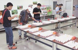 机に並べられたマンゴーを試食し、投票する八重山マンゴー研究会の会員ら=6日午後、八重山合同庁舎会議室