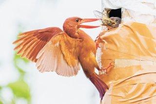 人工巣から顔を出すヒナへエサを運ぶ親鳥=24日午後