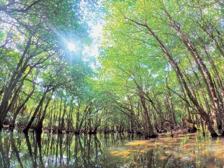 西表島の世界自然遺産登録が26日にも正式決定する予定。写真はマングローブ林がアーチ状になり幻想的な世界をつくりだすクーラ川=5月15日、西表島