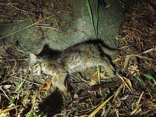 事故死したイリオモテヤマネコの幼獣(西表野生生物保護センター提供)