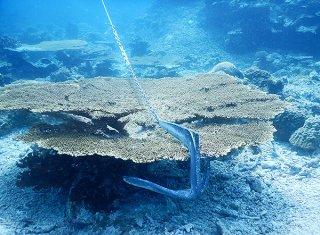 サンゴにかかった船のアンカー。サンゴを破壊する恐れが極めて高い=2018年7月、西表島周辺海域(竹富町ダイビング組合提供)