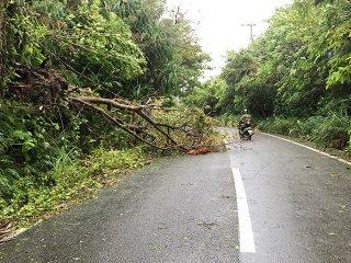 台風14号による倒木で県道の片側をふさいだ=13日午前、与那国町の久部良―比川間(田頭政英与那国通信員)