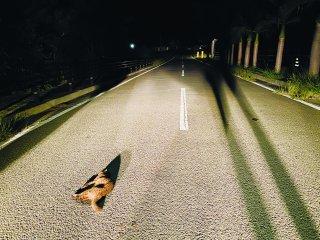 交通事故死したイリオモテヤマネコ。今年に入り急増している=1日夜、祖納~干立集落間の与那田橋付近(環境省西表野生生物保護センター提供)