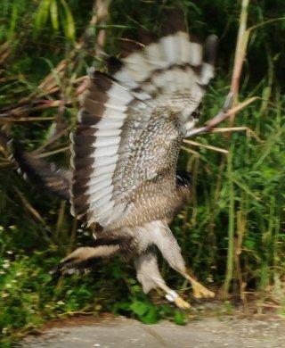 大きく羽ばたき、野生に復帰するカンムリワシ